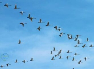 В Нацпарк под Одессой прилетели краснокнижные птицы из Тундры (фото)