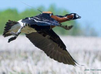 Тысяча километров за десять часов: одесский эколог показал полет пернатого спринтера