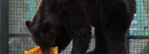 Детям праздник, косолапым тыквы: как прошел медвежий день в Одесском зоопарке (фото)