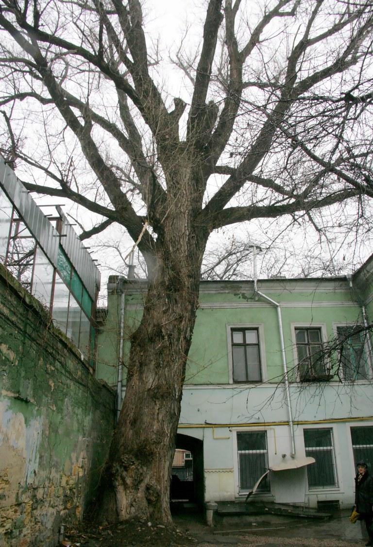 Пушкинский тополь во дворе на Торговой, 17