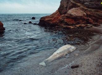 На Чкаловский пляж в Одессе выбросило мертвого дельфина