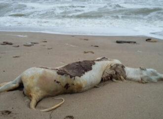 На одесском пляже нашли труп коровы (фото)