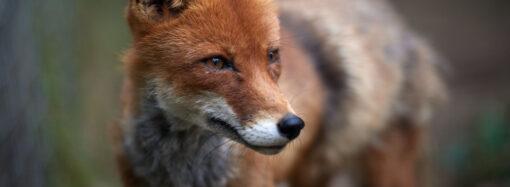 В Одесской области обнаружили бешеных красных лисиц