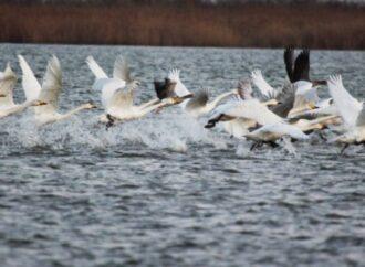 В заповедный парк под Одессой прилетели зимовать редкие птицы из тундры (видео)