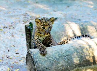 В одесском зоопарке появился хищный Казанова за 100 тысяч гривен