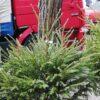 Сколько будут стоить новогодние ёлки в Одессе?