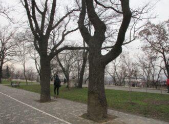В Одессе подлечили старый дуб, пострадавший от вандального ожога (фото)