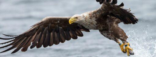Из-за аномального тепла в Одесском регионе рано начали вить гнезда краснокнижные орланы (фото)