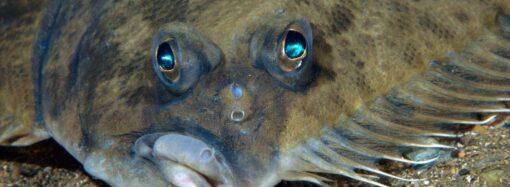 В водоемах Одесской области введут запрет на ловлю камбалы