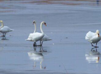 Реку в Одесской области облюбовала стая белых лебедей (фото)
