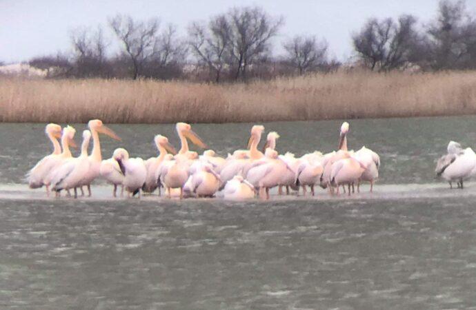 Весна на Тузловских лиманах: в нацпарк Одесской области возвращаются розовые пеликаны