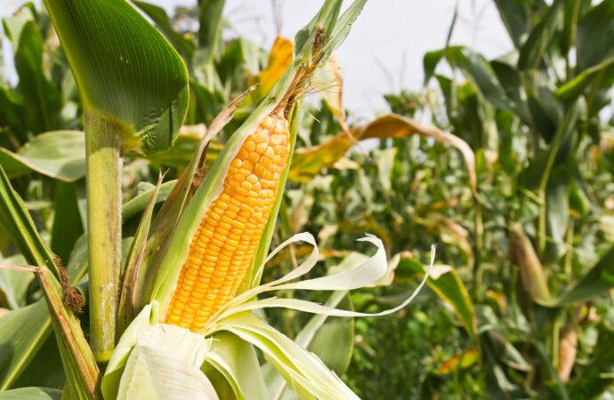Як обрати насіння кукурудзи для посівної?