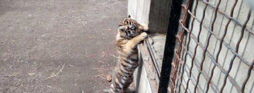 В одесском зверинце показали новорожденного тигренка (фото, видео)