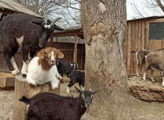 В одесском зоопарке похвастались фотогеничными рогатыми моделями (фото)