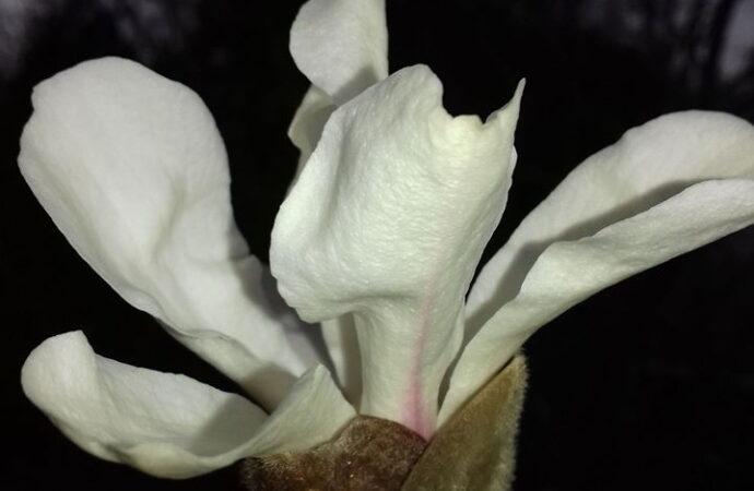 В ботсаду Одессы распустилось древнее растение с ванильно-цитрусовым ароматом (фото)