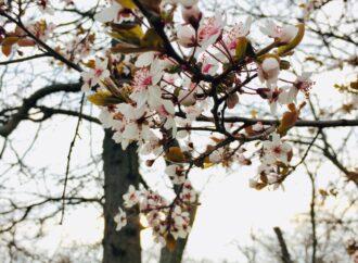 Цветут и пахнут деревья: в Одессу пришла настоящая весна (фото)
