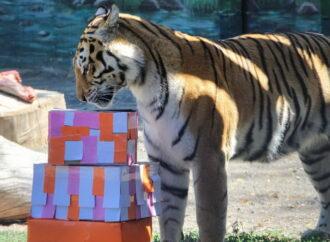 Одесский зоопарк обзавелся 5-месячной тигрицей
