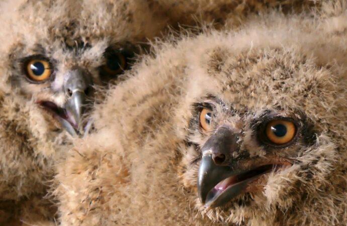 В Одесском зоопарке у филинов вылупились птенцы: со временем их выпустят в заповеднике