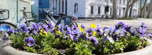 Маргаритки, незабудки, віоли: в Одесі комунальники прикрасили клумби весняними квітами (фото)
