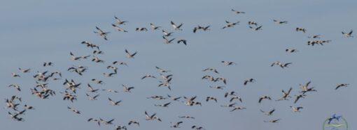 В одесском регионе заметили вернувшихся из Африки краснокнижных журавлей