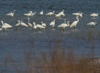 В нацпарк под Одессой прилетели из Африки белые птицы  (фото)