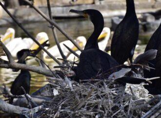 В Одеському зоопарку у великих бакланів народилося потомство (фото)