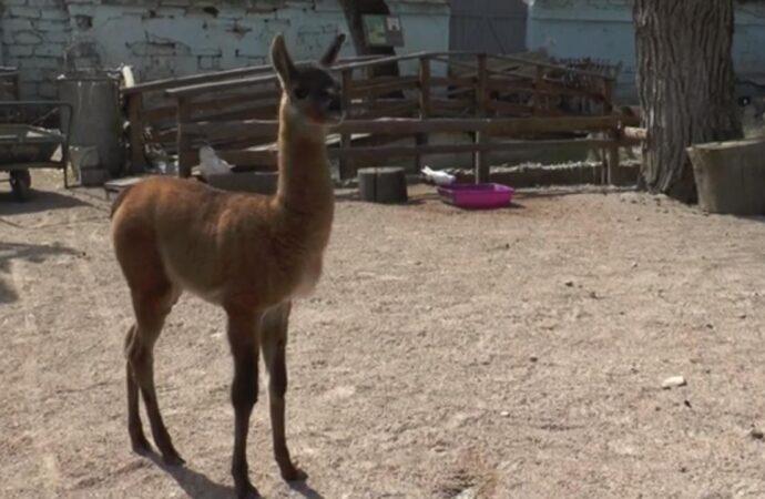 В Одеському зоопарку представили пісеньку про новонароджену ламу та карантин (відео)