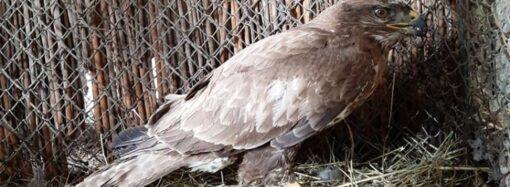 В Одеському зоопарку розповіли, як рятували пораненого хижого птаха