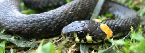 Директор Одеського зоопарку розповів, що робити, якщо ви несподівано побачили змію (відео)