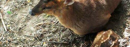 В Одеському зоопарку народилося оленя