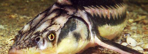 Дунайская Белуга: что мы знаем об исчезающей ровеснице динозавров?