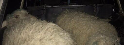 В Одеській області серед ночі чоловіки викрали двох овець (фото)