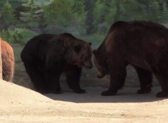 Борсаються у воді та борються: в Одеському зоопарку показали, чим займаються ведмеді у вольєрі