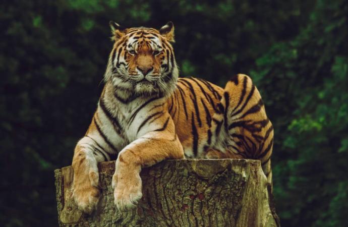 Онлайн-екскурсії Одеським зоопарком: директор установи розповів про уссурійських тигрів (відео)