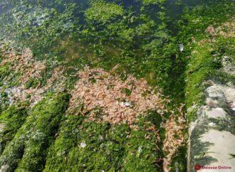 У Хаджибейському лимані внаслідок забруднення гинуть креветки