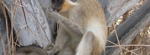 В Одеському зоопарку показали, як годують зелених мавпочок (відео)