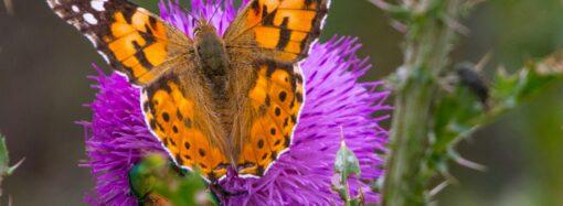 В Одесскую область прилетели редкие бабочки из Африки (фото)