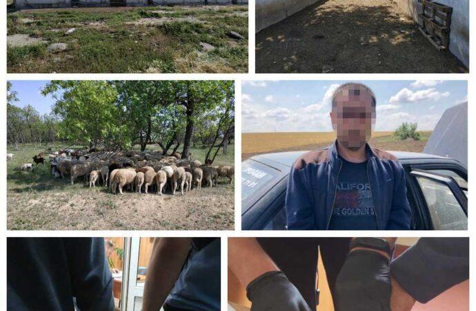 Крадіжка у великих розмірах: на Одещині чоловік викрав майже 220 одиниць худоби (відео)