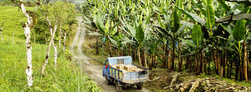 Изменение климата: бессарабские фермеры экспериментируют с бананами и гранатами