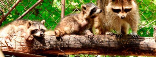 Як єноти в Одеському зоопарку куштують смачні головоломки? (відео)