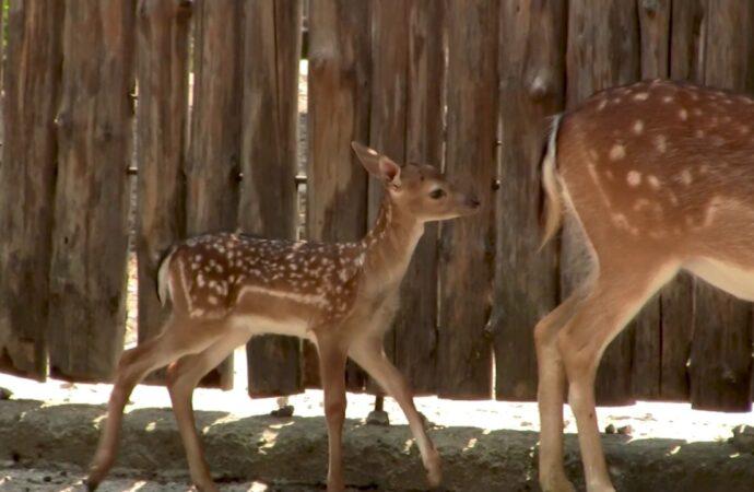 В Одеському зоопарку показали маленьких лелек та ланей (відео)
