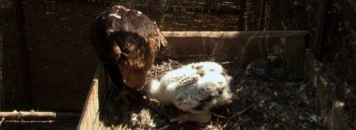 Як в Одеському зоопарку поживає пташеня орла-могильника і чим воно унікальне? (відео)