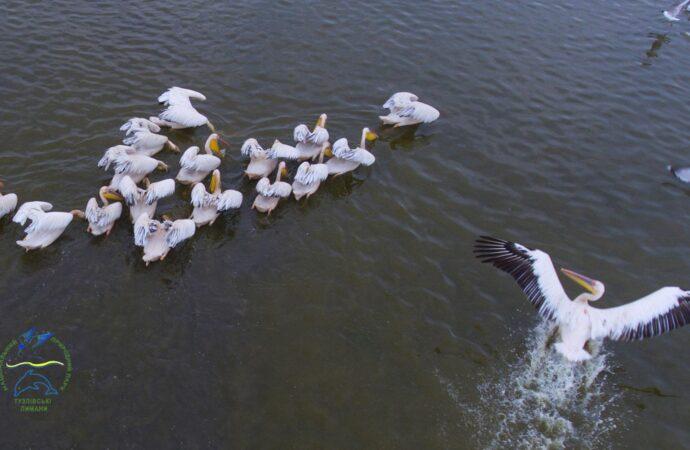 Тарас Шевченко создал огромного пеликана для национального парка «Тузловские лиманы» (фото)