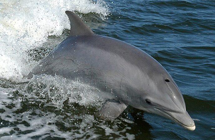 Ученые сосчитали дельфинов в Черном море (видео)