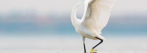 Як під Одесою білі чаплі готуються до міграції? (відео)