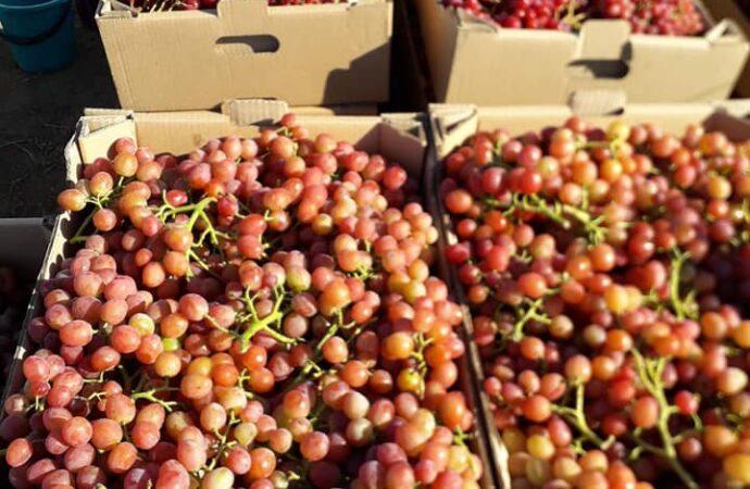 Фермер из Бессарабии показал урожай винограда 2020 года (фото)