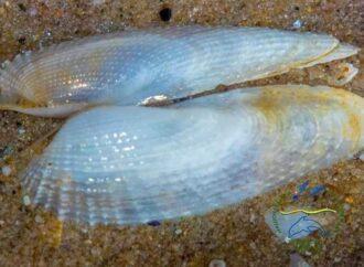 """На Одещині виявили поселення молюсків """"Крила янгола"""": чим вони особливі?"""