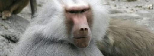 В Одеському зоопарку показали, як поживають павіани-втікачі (відео)