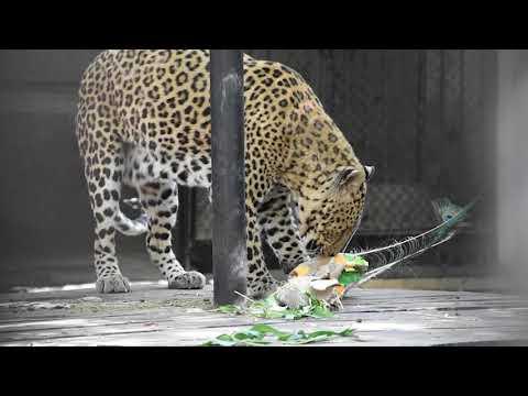 В Одеському зоопарку показали, як леопард Оскар поїдає смачні головоломки (відео)