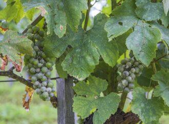 Дачные советы: чем обработать виноградник?